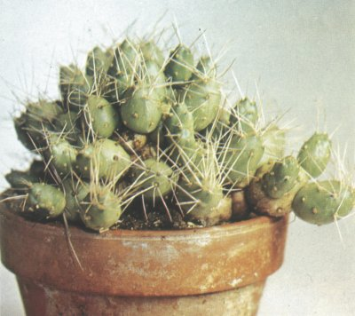 Tephrocactus is a type of cactus native to South America.