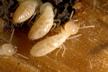 Termites And Structural Property Damage Howstuffworks