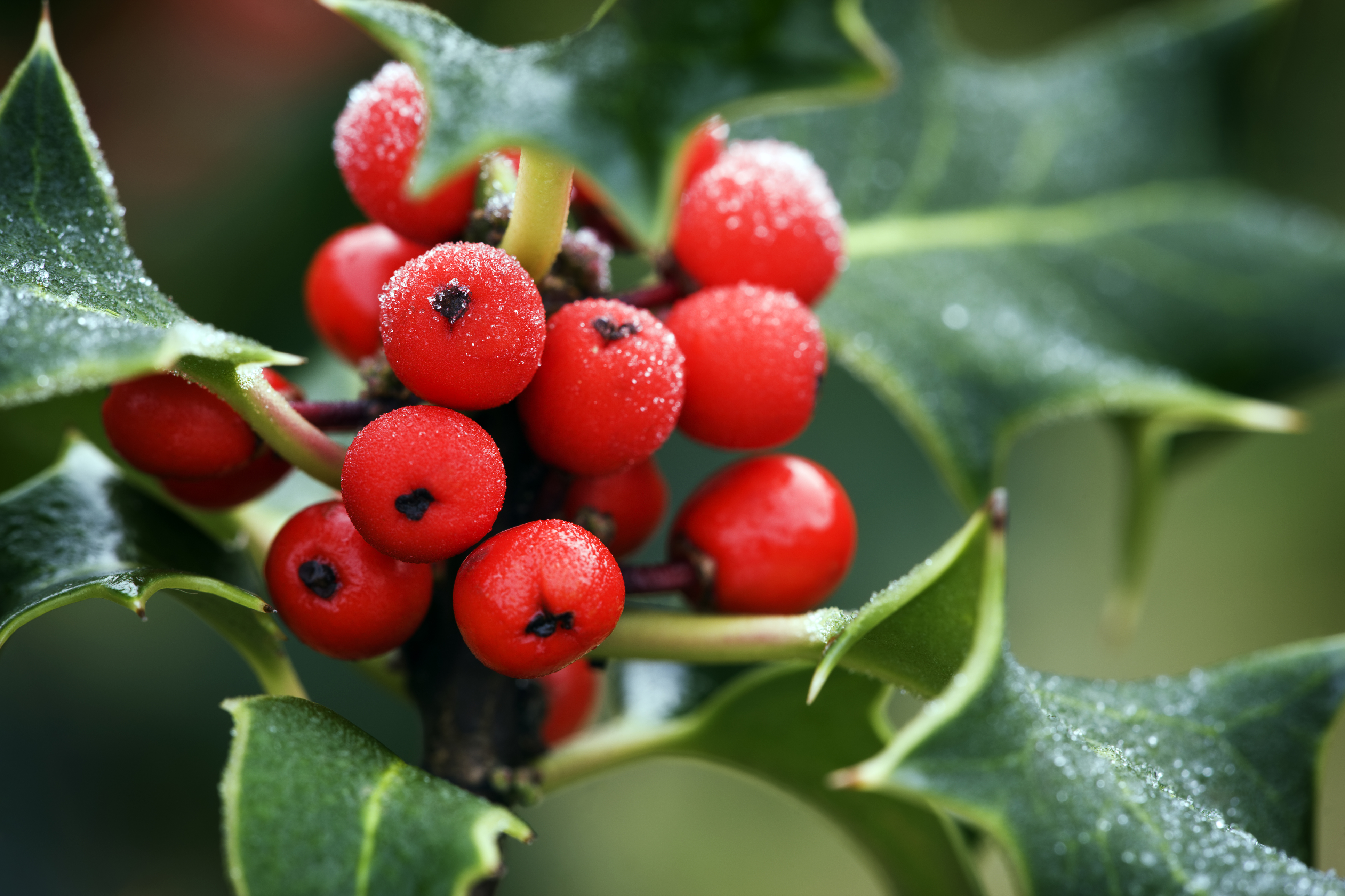 History of Holly - Why do we decorate with holly at