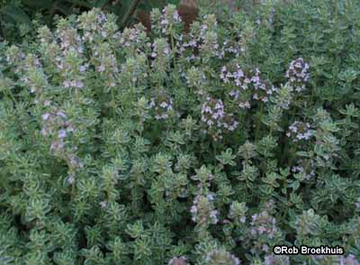 Thyme A Portrait Of A Perennial Herb Howstuffworks