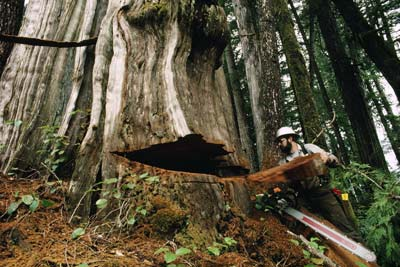 Logger cutting down tree