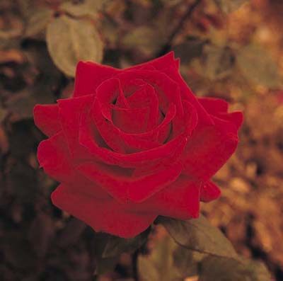 Roses continue to be improved upon in the breeding process.