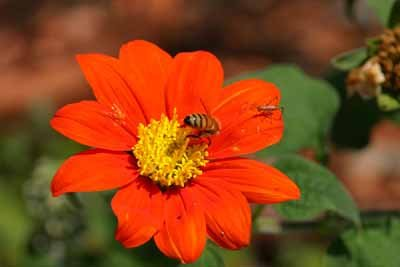 Honia Mexican Sunflower A Profile Of An Annual Flower