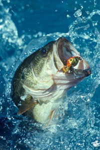 Introduction To Top Water Bass Fishing Howstuffworks