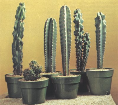 Torch Cactus, also known as the cereus peruvianus, is the sterotypical cactus that Americans associate with the desert.