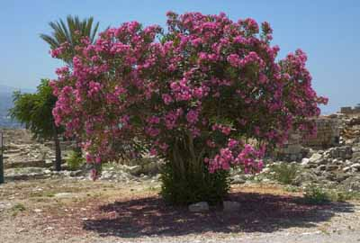 Tree Rose: A Profile of a Flower | HowStuffWorks