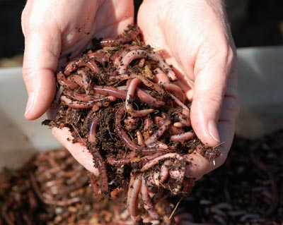 Red Wigglers | HowStuffWorks
