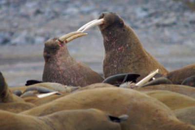 Walrus Behavior and Reproduction | HowStuffWorks