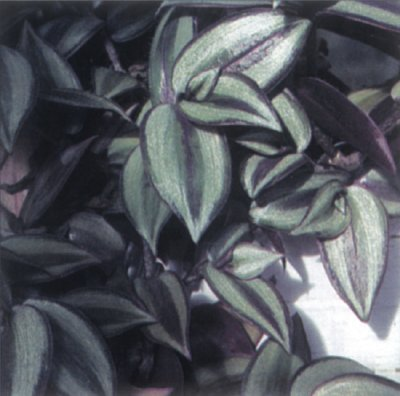 Wandering Jew Plant: A Profile of a House Plant | HowStuffWorks on house plants with long green leaves, house plants with bronze leaves, house plants and their names, house plant rubber plant, florida plants with red leaves, house plants with colorful leaves, poisonous plants with purple leaves, purple foliage plants with leaves, perennial plants with purple leaves, house with red flowers, house plants with dark red leaves, wandering jew with fuzzy leaves, house plants with small leaves, purple house plant fuzzy leaves, olive tree green leaves, house plant purple heart, tomato plants with purple leaves, house plants with light green leaves, house plants with shiny leaves, house plants with waxy red blooms,