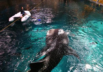 Whale Shark Feeding Howstuffworks