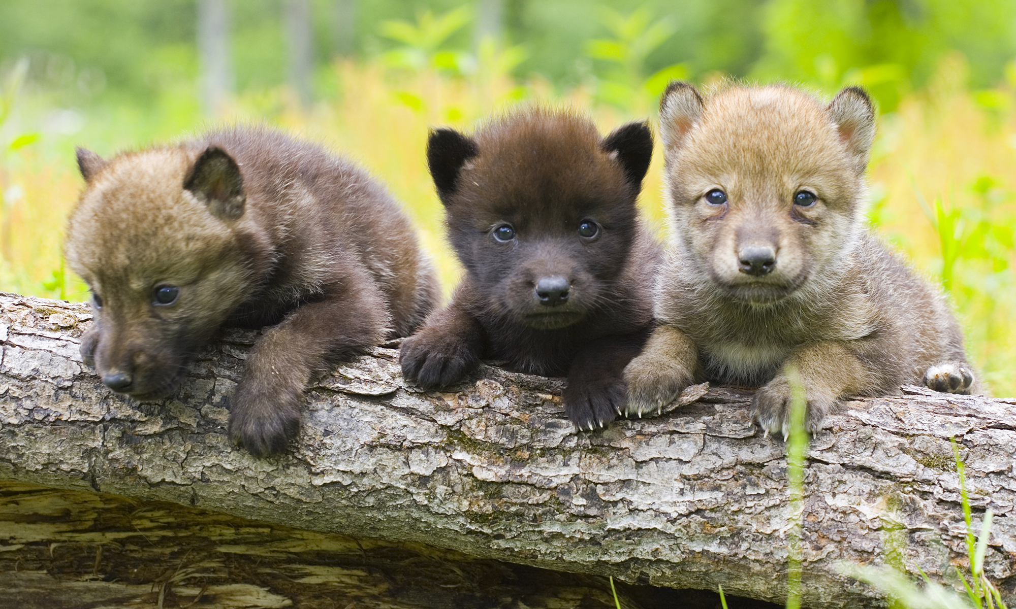 Why Are Wolves Making A Comeback In The United States Howstuffworks