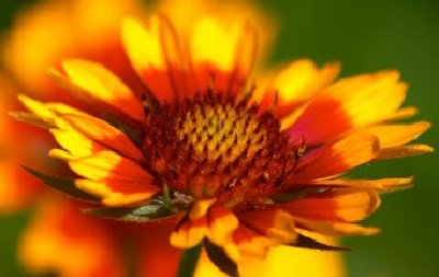 Yellow To Orange Perennial Flowers Howstuffworks
