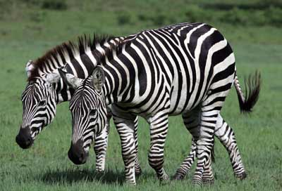 How do a zebra's stripes act as camouflage?   HowStuffWorks